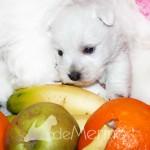 Cachorro de Menta Demerino entre frutas, jugando con su mamá