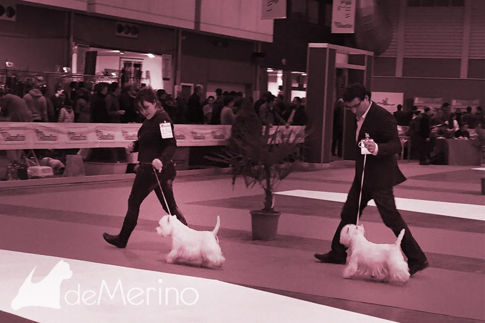 Only You Demerino desfilando en la XXXV Exposición Nacional de Valladolid 2015, para el mejor de raza