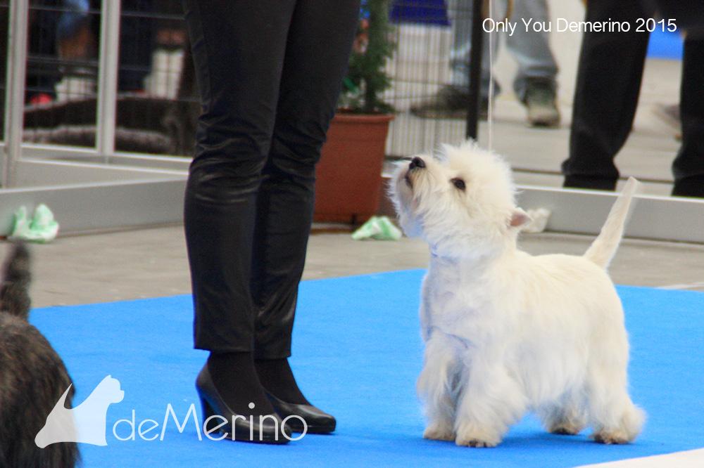Only You Demerino en el ring, esperando su turno, atento al handler