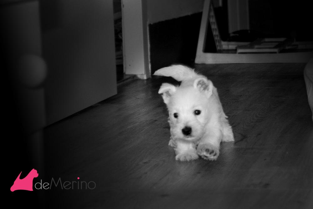Cachorro de westie hijo de Menta Fresca Demerino, jugando en el pasillo