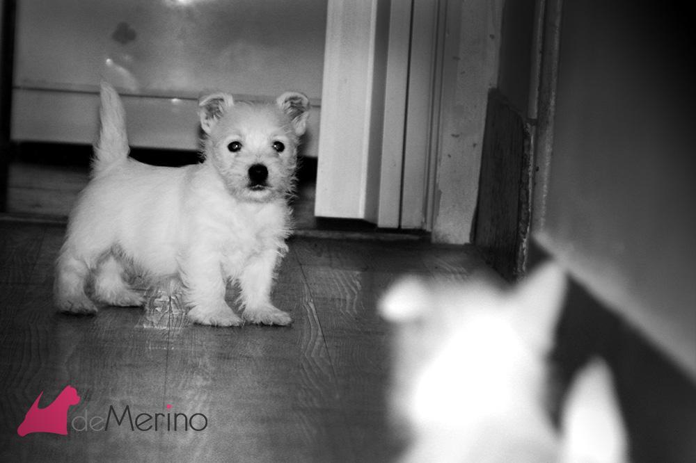 Cachorro de westie hijo de Menta Demerino, jugando en el pasillo