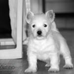 Cachorra de westie hija de Menta Demerino, jugando en el pasillo