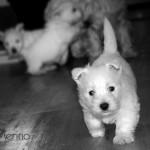 Cachorro de westie hijo de Menta Demerino
