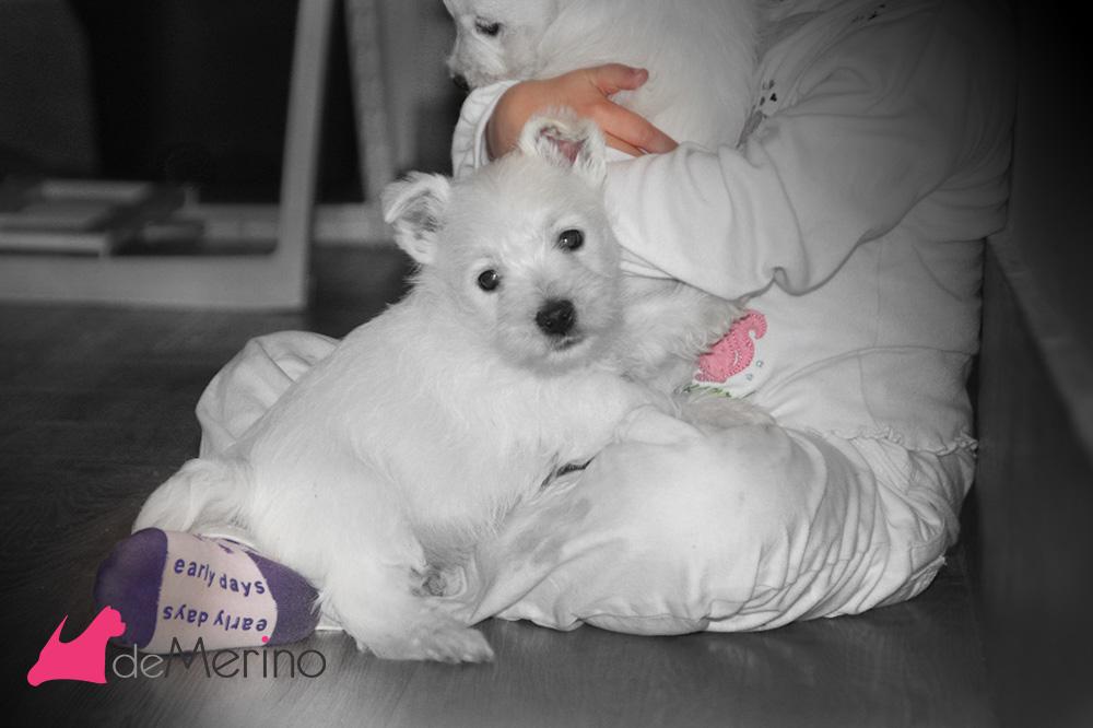 Cachorro de westie hijo de Menta Demerino, jugando con nuestra hija de 3 años