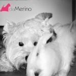 Cachorro de westie hijo de Menta Demerino, jugando con su madre