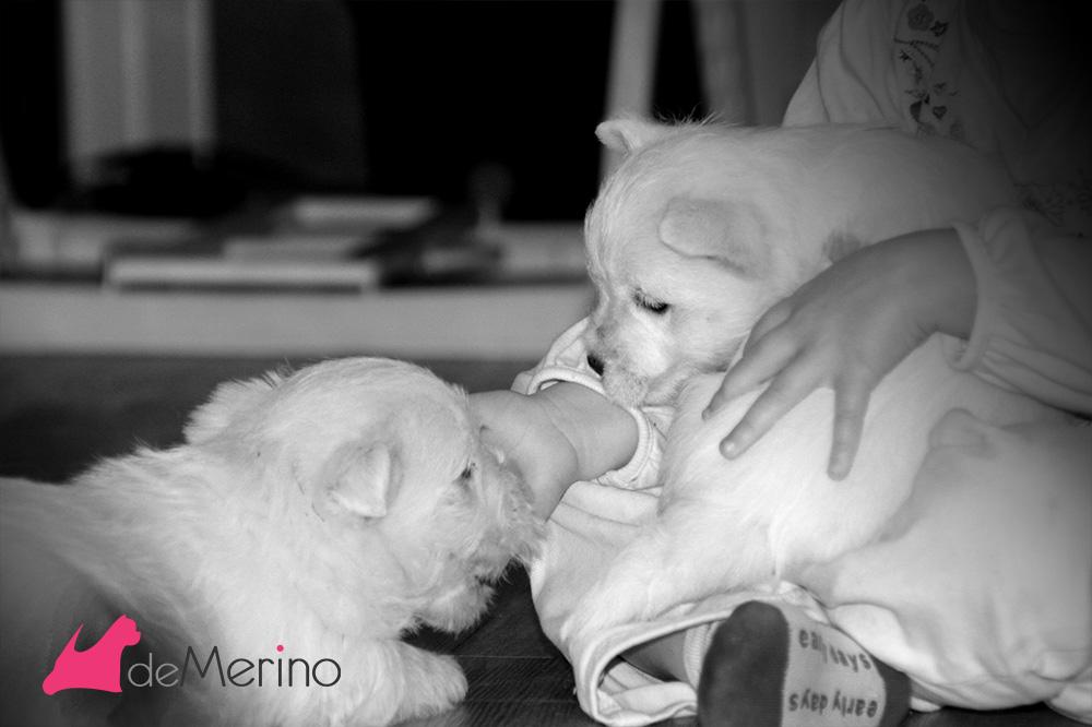 Cachorros de la camada de Menta Fresca Demerino, jugando con nuestra hija de 3 años