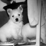 Cachorro de westie hijo de Menta Demerino, jugando en el tendedero