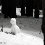 Westie de nieve en el bosque