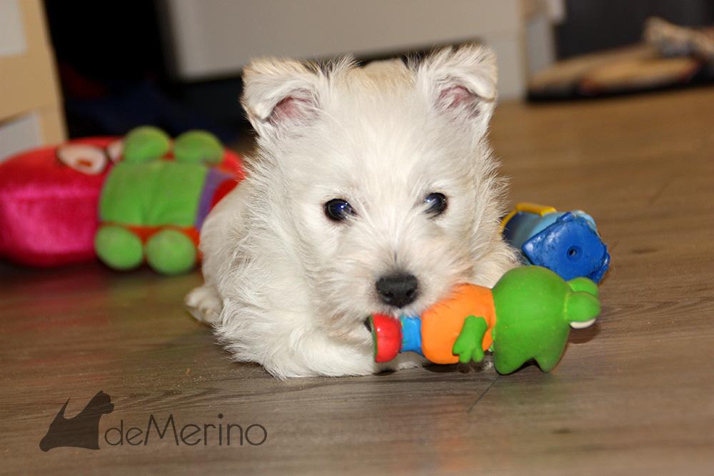 Bogavante Demerino jugando con un juguete en el salón
