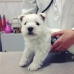 Cachorro Demerino con 45 días en su primera revisión veterinaria