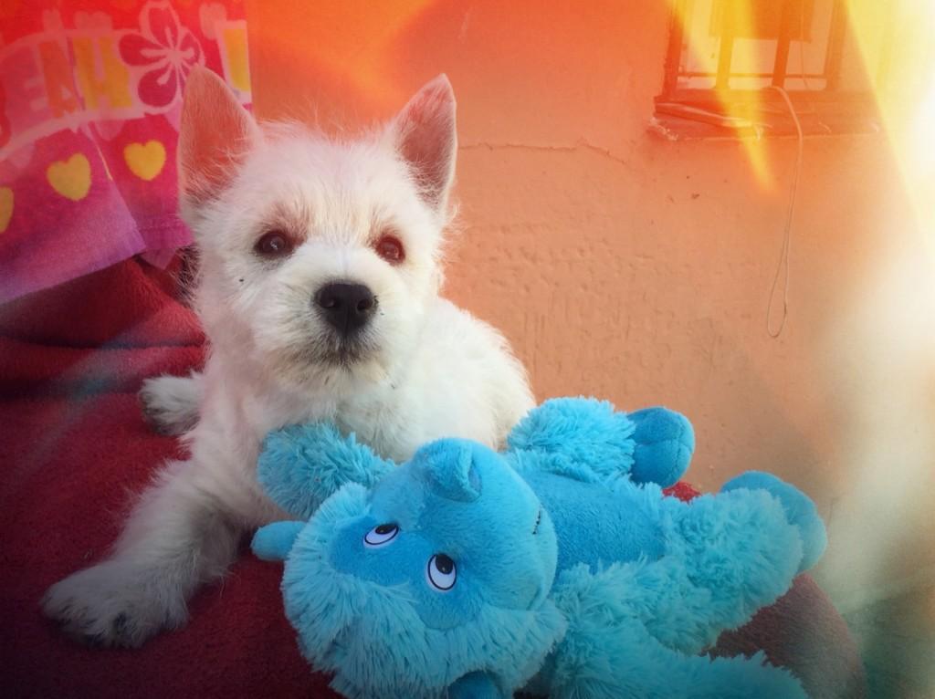 Cachorra de Fantasía Demerino posando con un muñeco