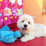 Cachorra de Fantasía Demerino jugando