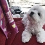 Cachorro de Fantasía Demerino mirando mamá