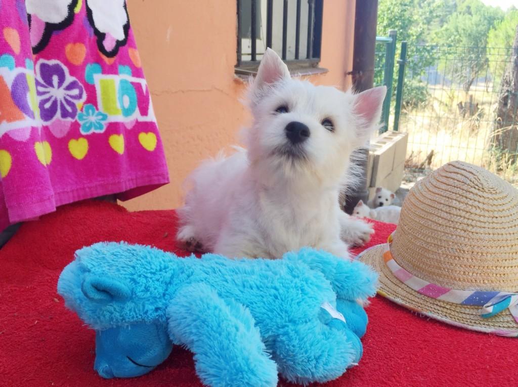 Cachorra de Fantasía Demerino mirando al juguete