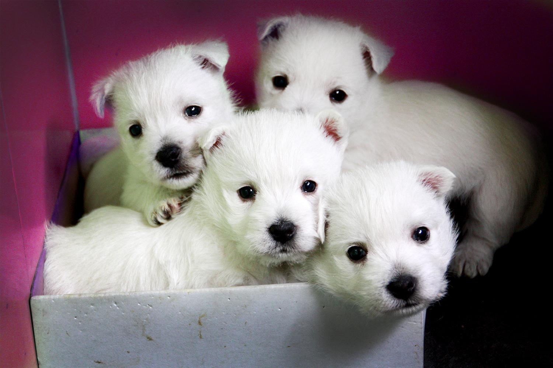 Cachorros de westie metidos en una caja de roscón de reyes