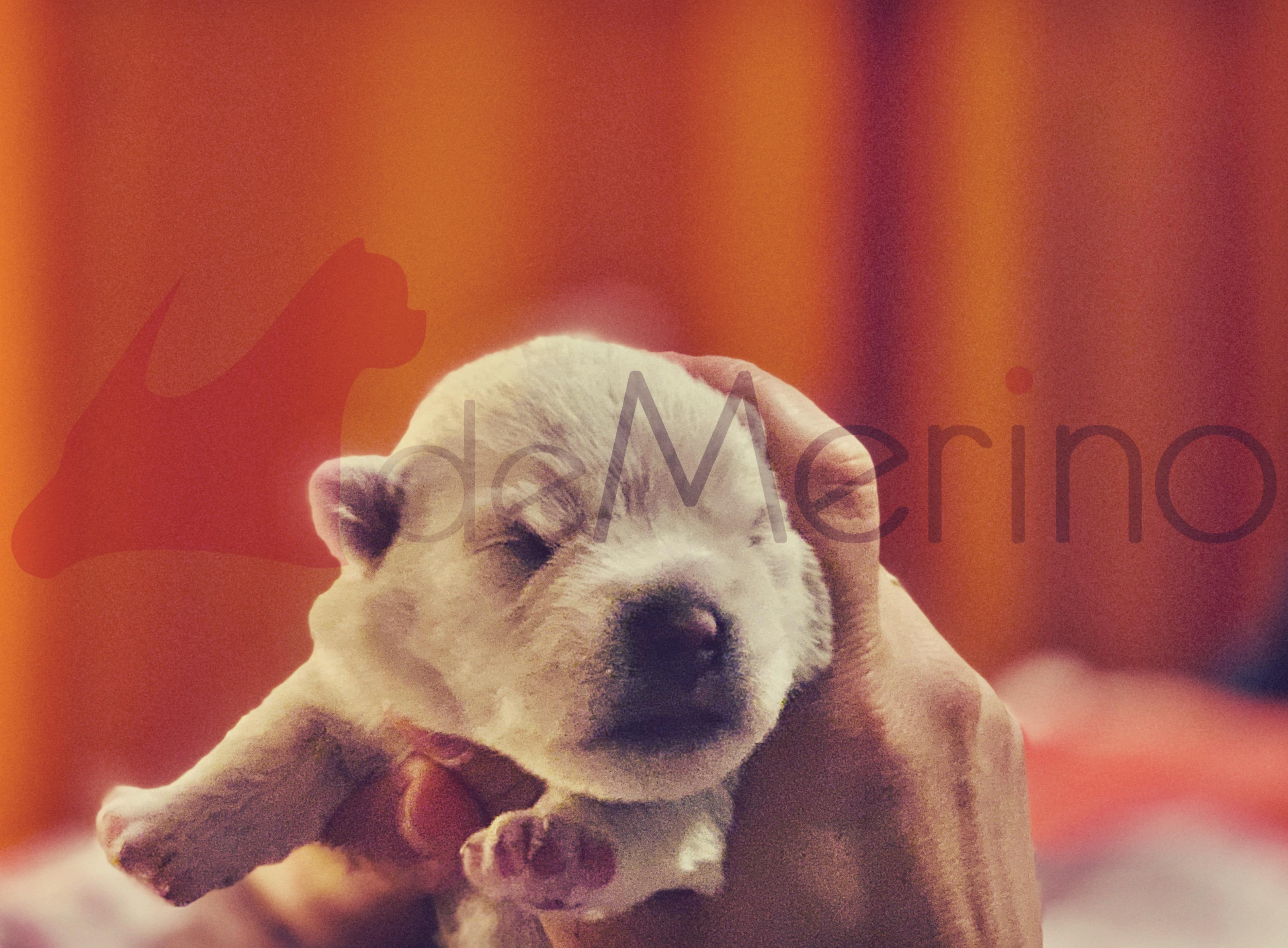 Cachorro de Westies Demerino con 10 días de edad, en las manos de su cuidadora