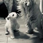Cachorro de Westies Demerino jugando en casa con su mamá