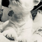 Cachorro de Westies Demerino atento en su cuna de casa