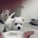 Cachorro de Westies Demerino jugando en el pasillo de casa