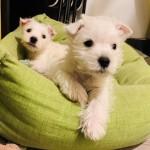 Cachorros de Westies Demerino atentos en su cuna de casa