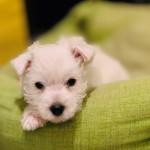 Cachorro de Westies Demerino descansando en su cuna en casa
